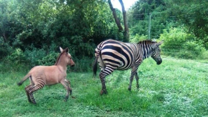 Cebra escapó de su refugio para irse con un asno y al regresar dio a luz un 'cebrasno'