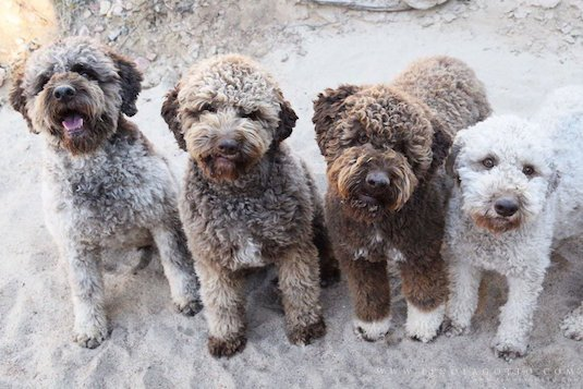 Italian Truffle Dog Puppies For Sale Uk
