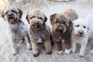 Everything about your Lagotto Romagnolo