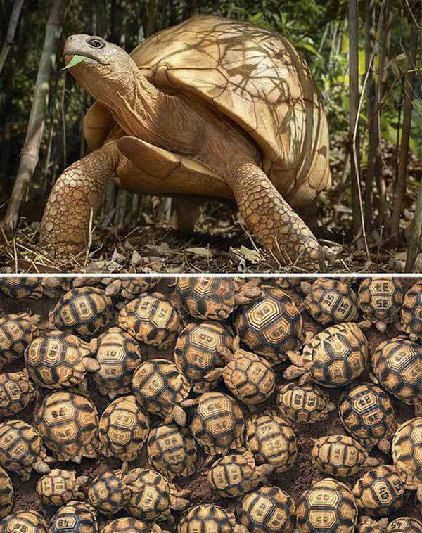 Rùa cạn hoang dã