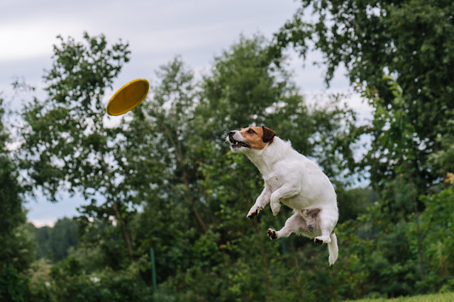 A Jack Russell Terrier leaps in the air clumsily to catch a frisbee