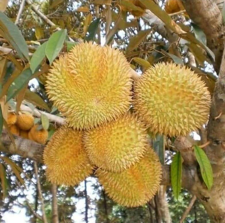 Bibit Durian Bawor hasil okulasi lebih cepat berbuah Gorontalo