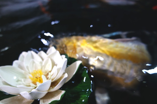 yellow koi carp swimming under waterlily