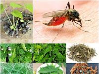 Membuat Ramuan Herbal untuk Obati Malaria dari Prof. H.M. Hembing Wijayakusuma