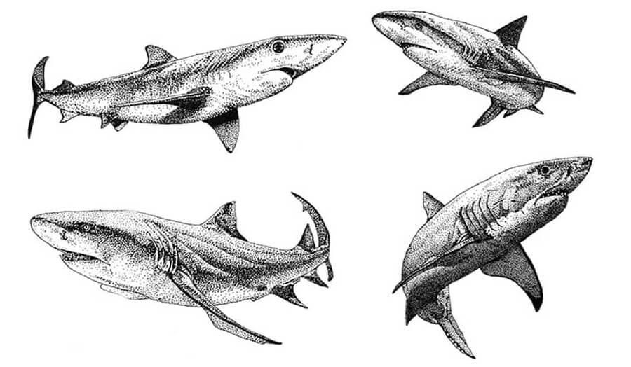 02-Sharks-Ashley-Habernal-www-designstack-co