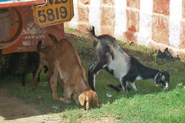 Goats at Kulithalai Kadambar Temple - Dakshina Kasi