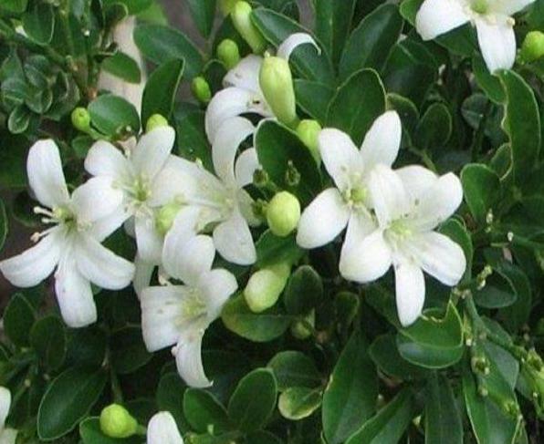 Bunga Kemuning