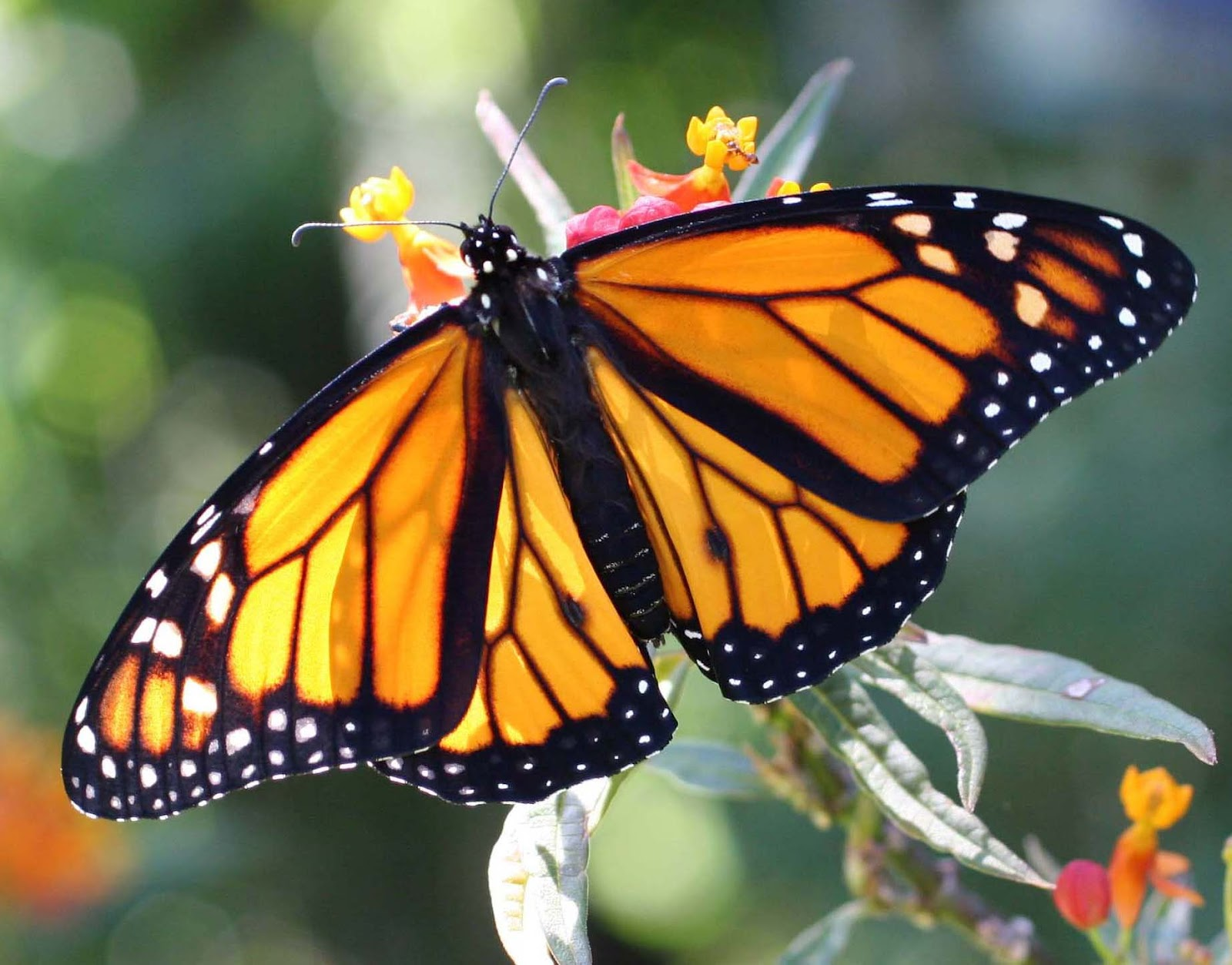 My Monarch Guide: Monarch Butterfly Milkweed Mania!: Is my ...
