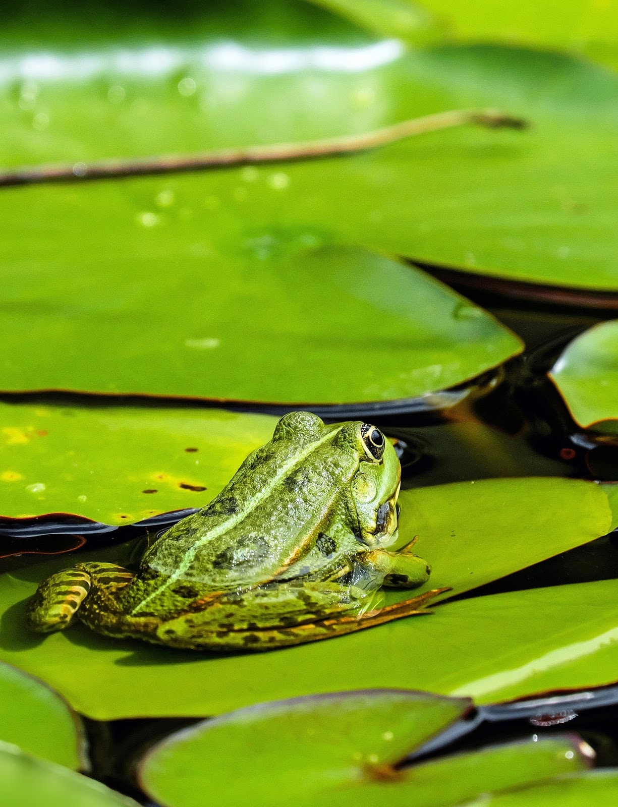 A photo of a green frog.