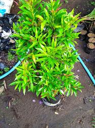 Tanaman hias daun yang mudah tumbuh