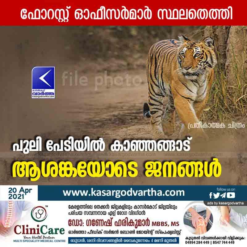 Kasaragod, Kerala, News, Top-Headlines, Kanhangad, Tiger, Fears, Natives, Kanhangad in fear of Tiger.