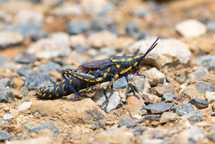 Black Cone-headed Grasshopper