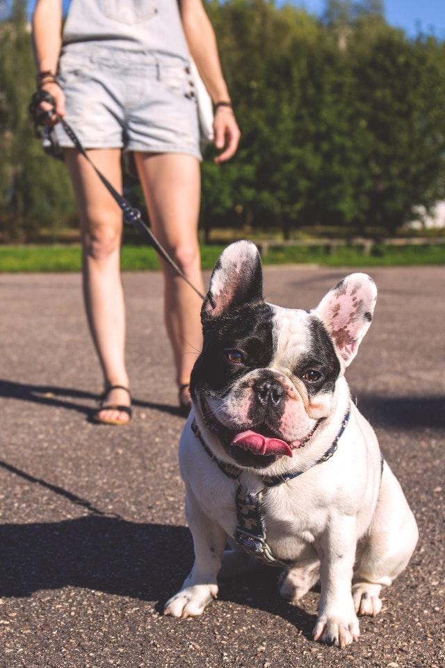 adorable-animal-bulldog