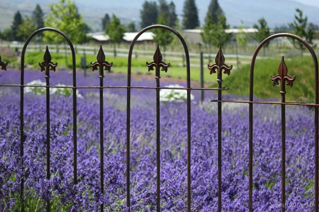 Lavender seen through an iron fence