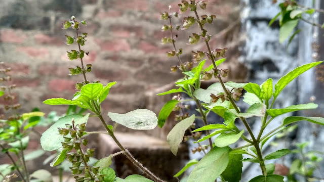 Benefits of tulsi leaves for skin, face, cough, and hair growth