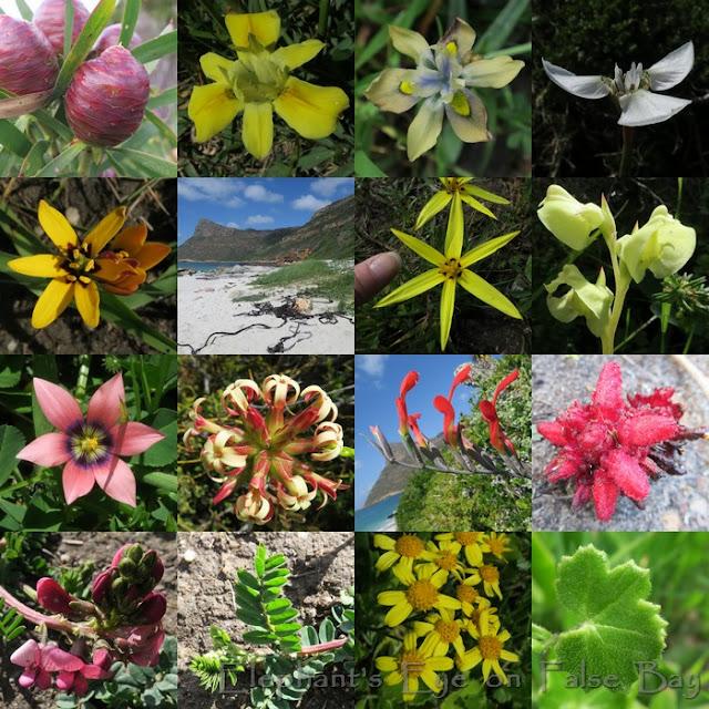 Smitswinkel Bay flowers in September