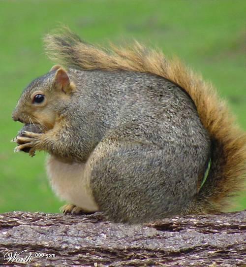 A Fat Squirrel 72