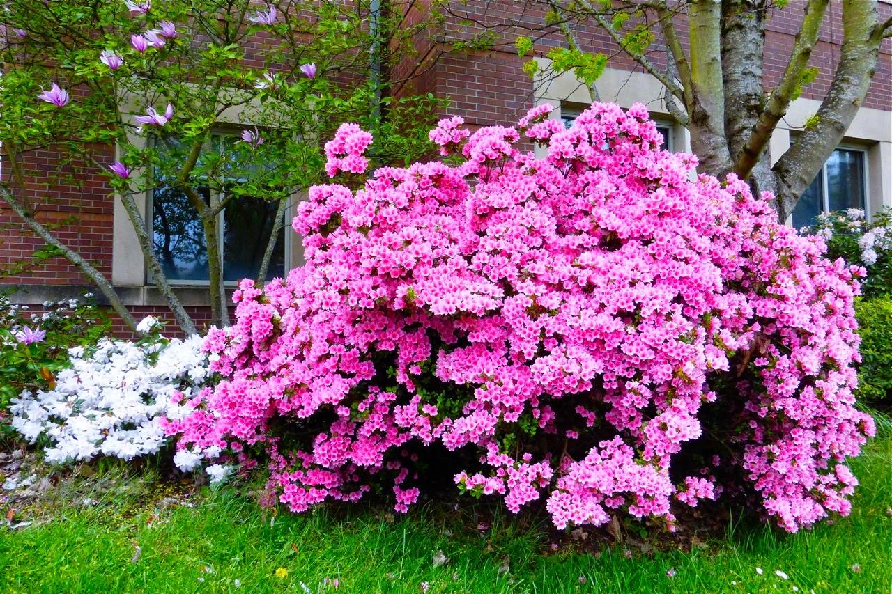 spring, azalea, azalea flowers, azalea blossoms, magnolia, magnolia blossoms