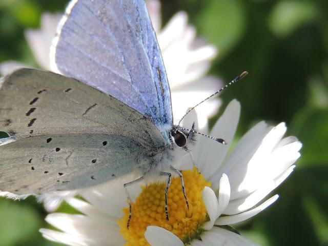 Mariposa Náyade