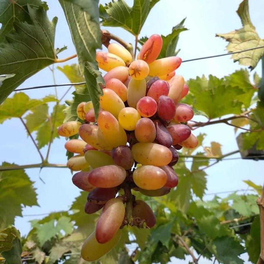 Bibit anggur Oscar VALID Riau