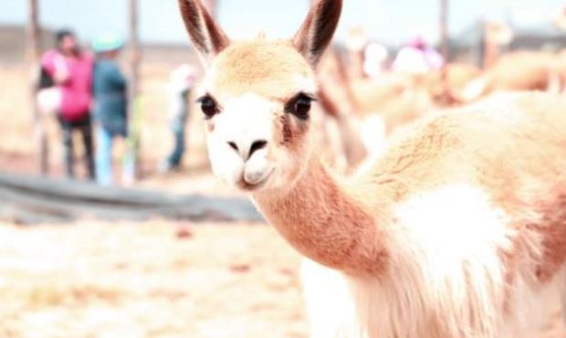 Piden a autoridades de Ayacucho investigar cacería furtiva de vicuñas durante cuarentena