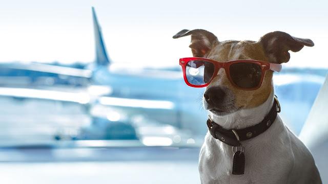 cachorro de oculos escuros em um aeroporto