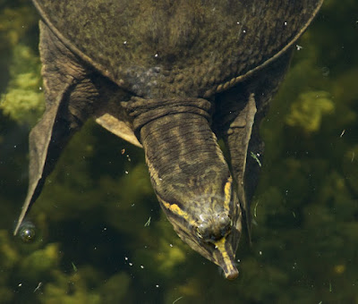Florida Soft-shelled Turtle (Apalone ferox)
