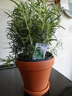 Rosemary Plant - A Kitchen Herb Garden