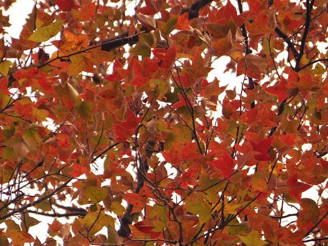 Về Hải Dương khám phá rừng phong khi những tán lá chuyển màu