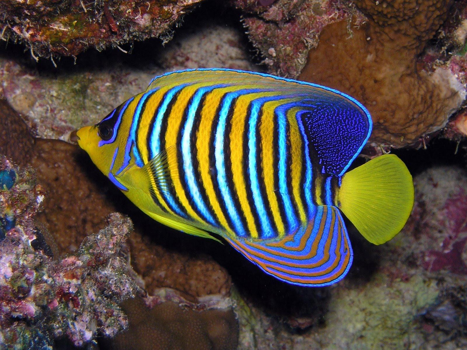 Vida marina peces de agua salada for Lista de peces tropicales para acuarios
