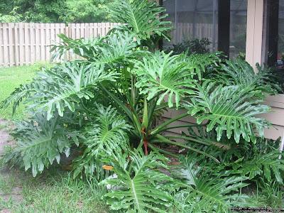 Guembé Philodendron bipinnatifidium