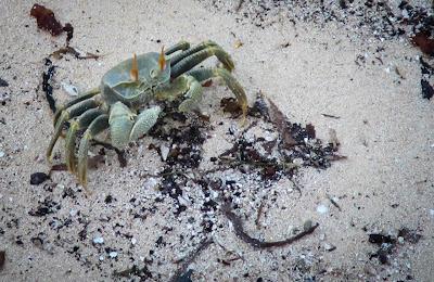 Geisterkrabbe auf La Digue, Seychellen