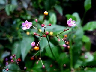 Foto_da_minuscula_flor_rosada_e_frutinhos_de _varias_tonalidades_do_beldroegao