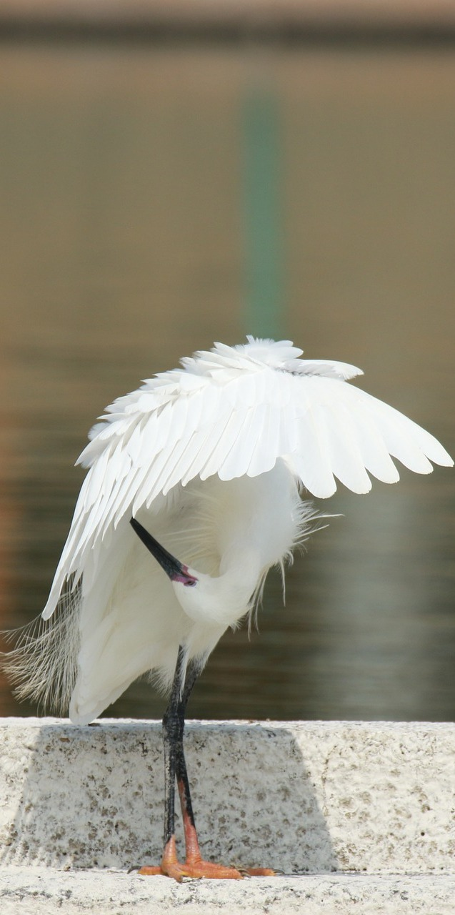 Egret preening and grooming.