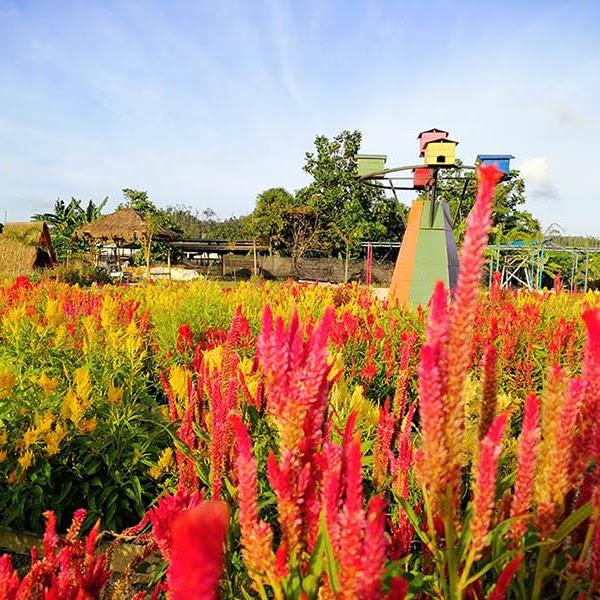 Taman Bunga Celosia Agro Piknik Sei Temiang Batam