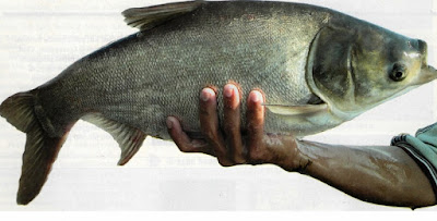 Ikan Mola