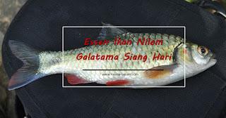 Essen Ikan Nilem Galatama Siang Hari