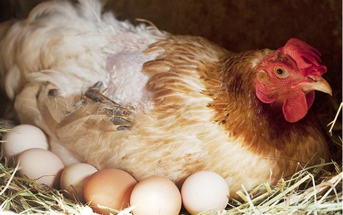Tavuk yumurtlayarak çoğalan hayvan
