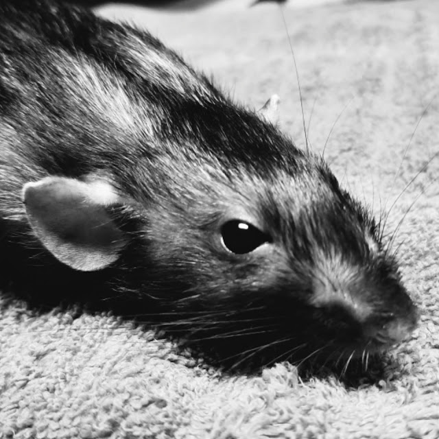 Franklin the therapy rat passes away