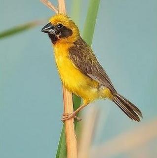 2 Cara Dan Tips Agar Burung Manyar Cepat Gacor Paling Akurat