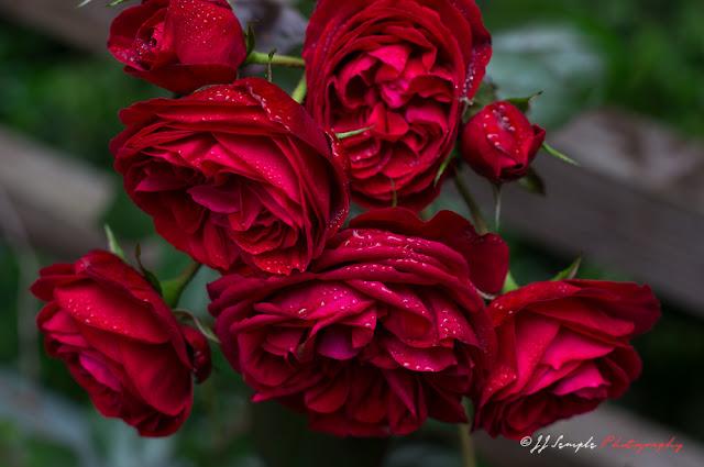 Roses represent the awakening Kundalini in the energy continuum