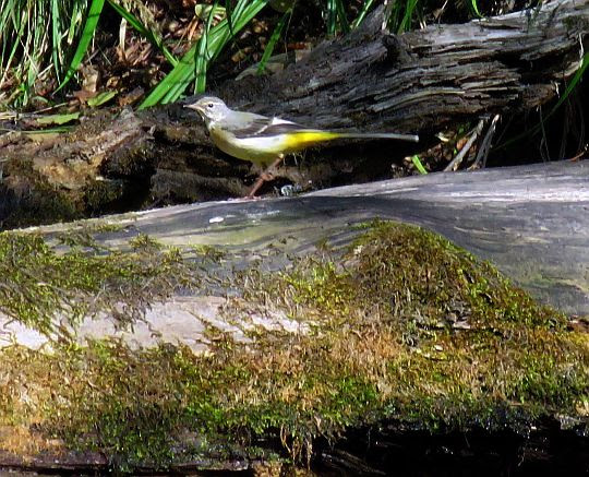 Pliszka górska (Motacilla cinerea).