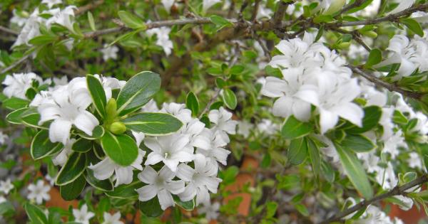 Seribu Bintang (Snowrose)