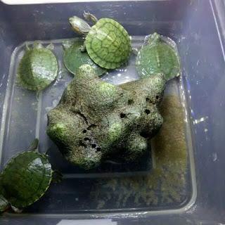 jual-kura-kura-brazil-anakan.jpg