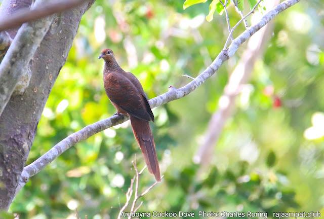 Brown cuckoo dove or Amboyna cuckoo dove