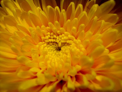 Chrysant Flower
