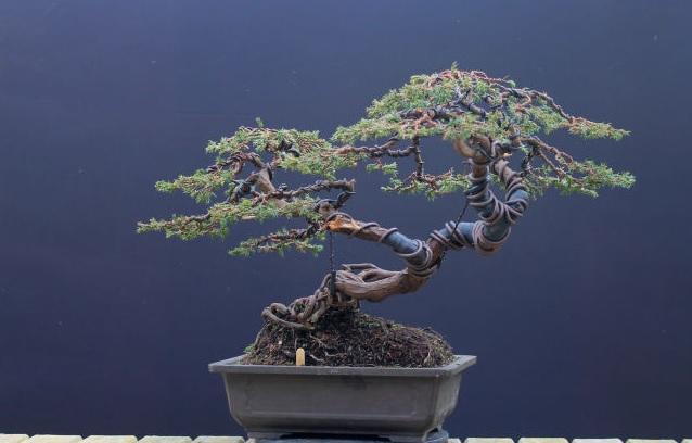 Jenis Pohon Bonsai Pict