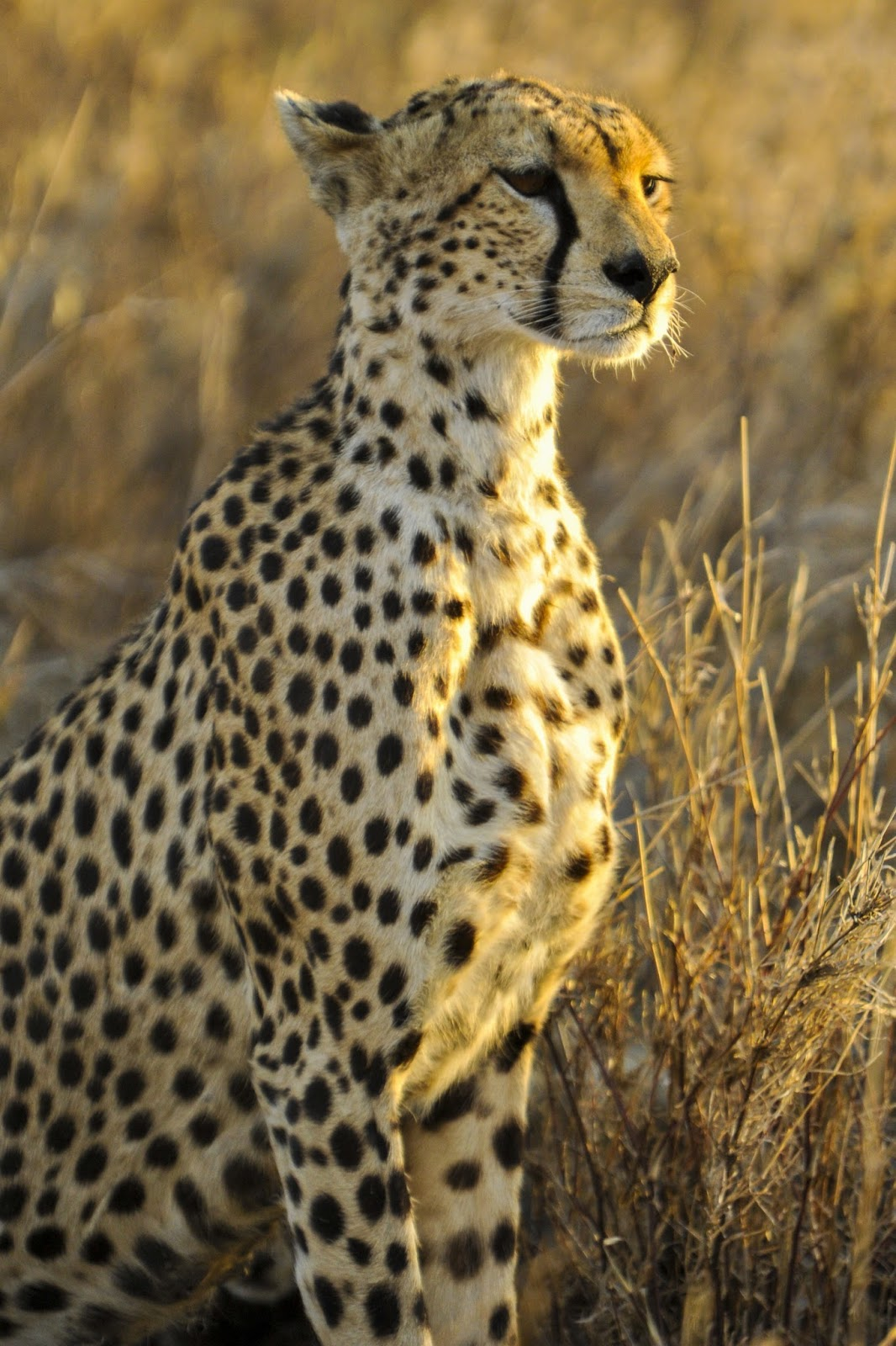 Picture of a cheetah.