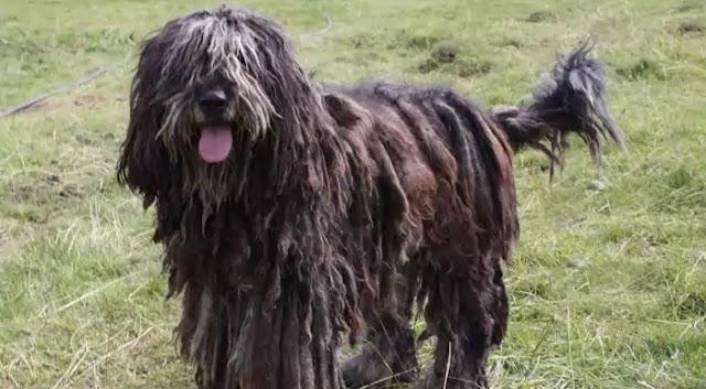 Bergamasco Sheepdog Dog Breed Info: Price, Characteristics, Aggressiveness & Facts