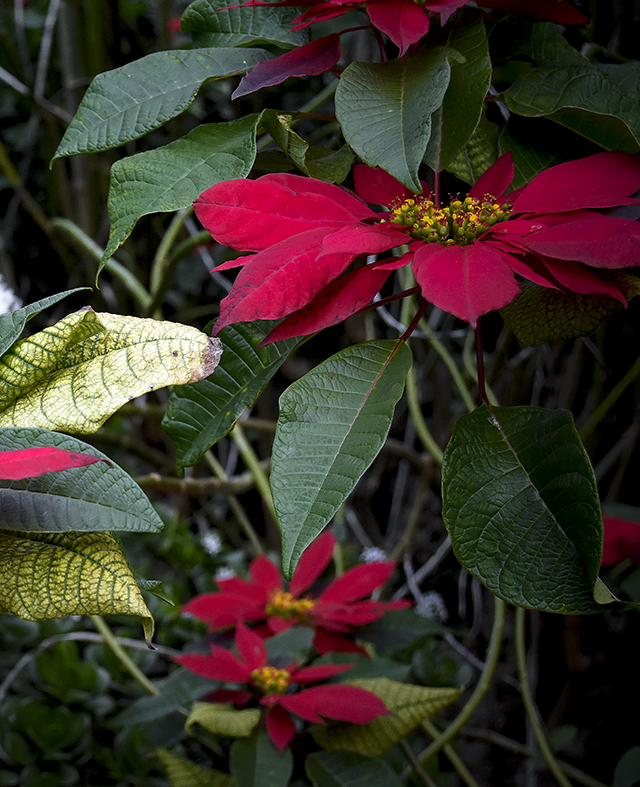 madeira,flowersofmadeira,madeiraparadiseisland,paradise,paradiseisland,red,redflower,eden,joulutähti